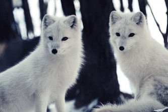 Land mammals arctic fox 01
