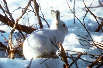 Land mammals tundra hare 02