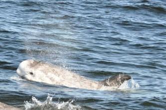 Marine mammals Rissos Dolphin
