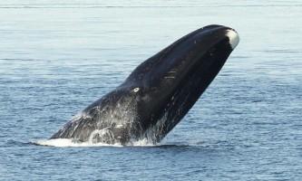 Marine mammals Bowhead Whale