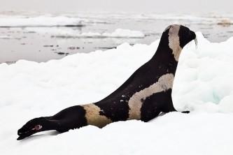 Marine mammals ribbon seal