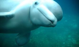 Marine mammals Beluga Whale