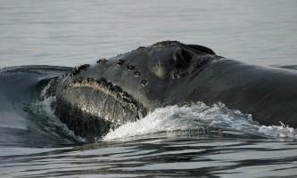 Marine mammals North Pacific Right Whale