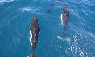 Marine mammals Dalls Porpoise