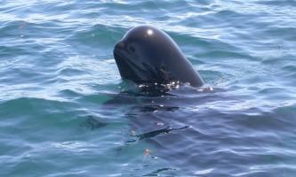 Marine mammals Short finned Pilot Whale