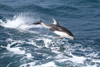 Marine mammals Pacific White sided Dolphin 01