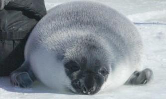 Marine mammals Hooded Seal