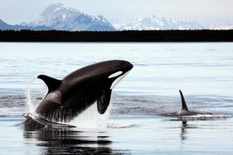 Marine mammals Killer Whalec Christopher P Michel