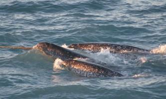 Narhal Narwhal copy marine mammals