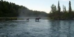 Moose Viewing at the Kenai River Estuary