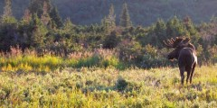 Moose Viewing at Powerline Pass