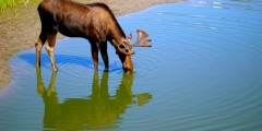 Moose Viewing in Portage Valley & Turnagain Arm