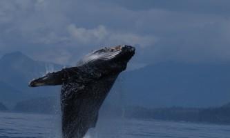 Sitka whalefest alaska UAFB JLD 20040811 1 075 whale fest