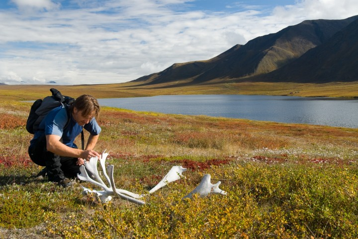 A man kneels on the tundra to look at a set of caribou antlers.