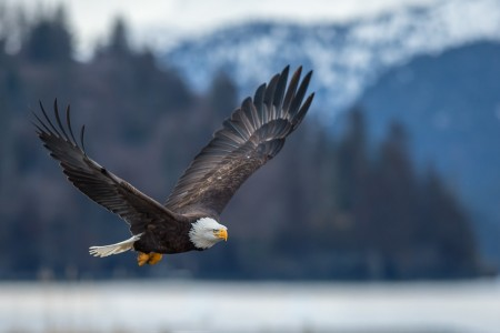 Bald Eagle Viewing Along Turnagain Arm