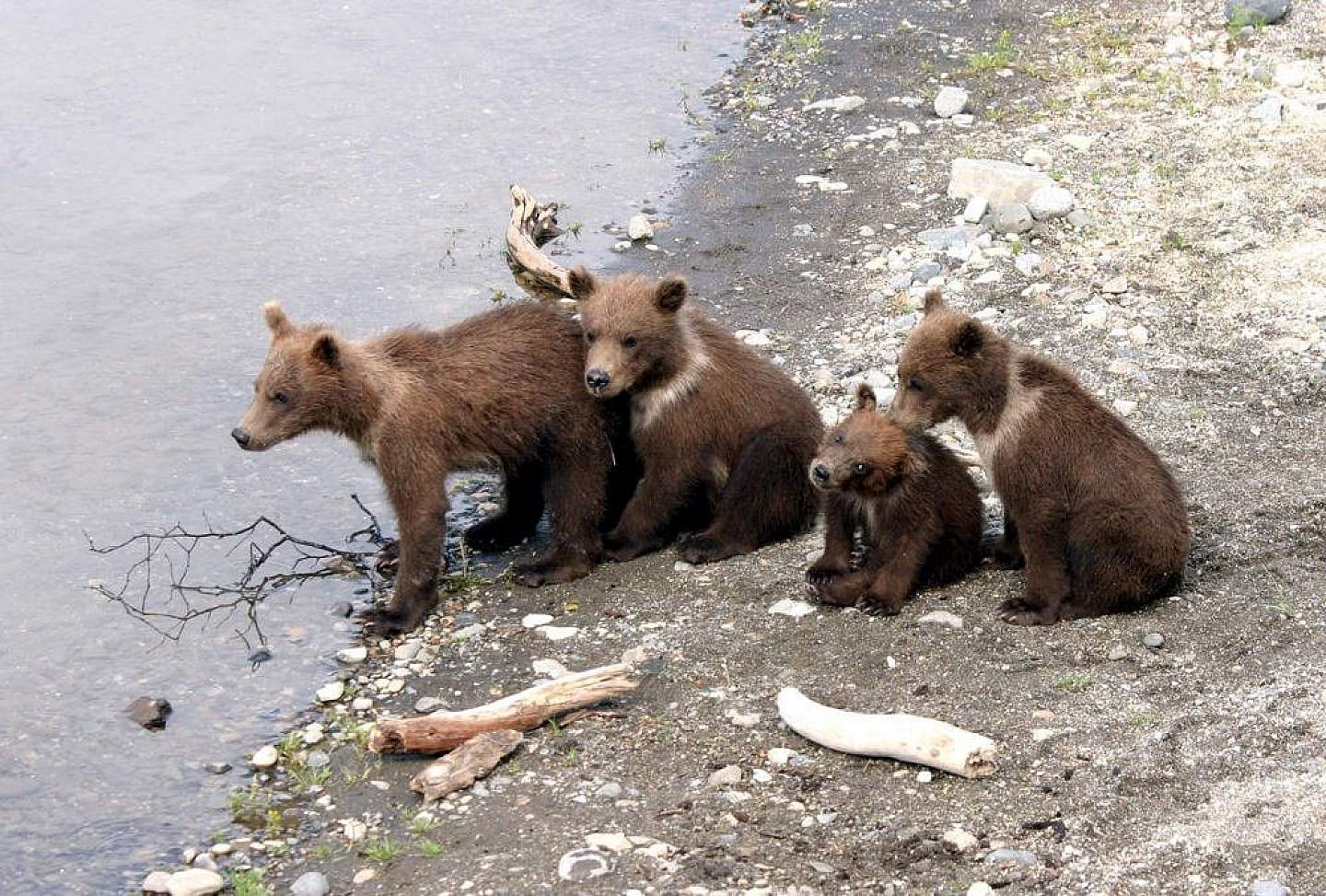 Fly-In Bear Viewing