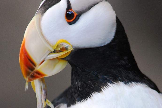 Anchorage birding location guarenteed viewing Horned Puffin