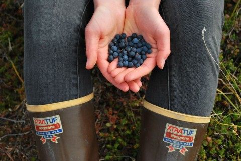 Discover delicious berries across Alaska.