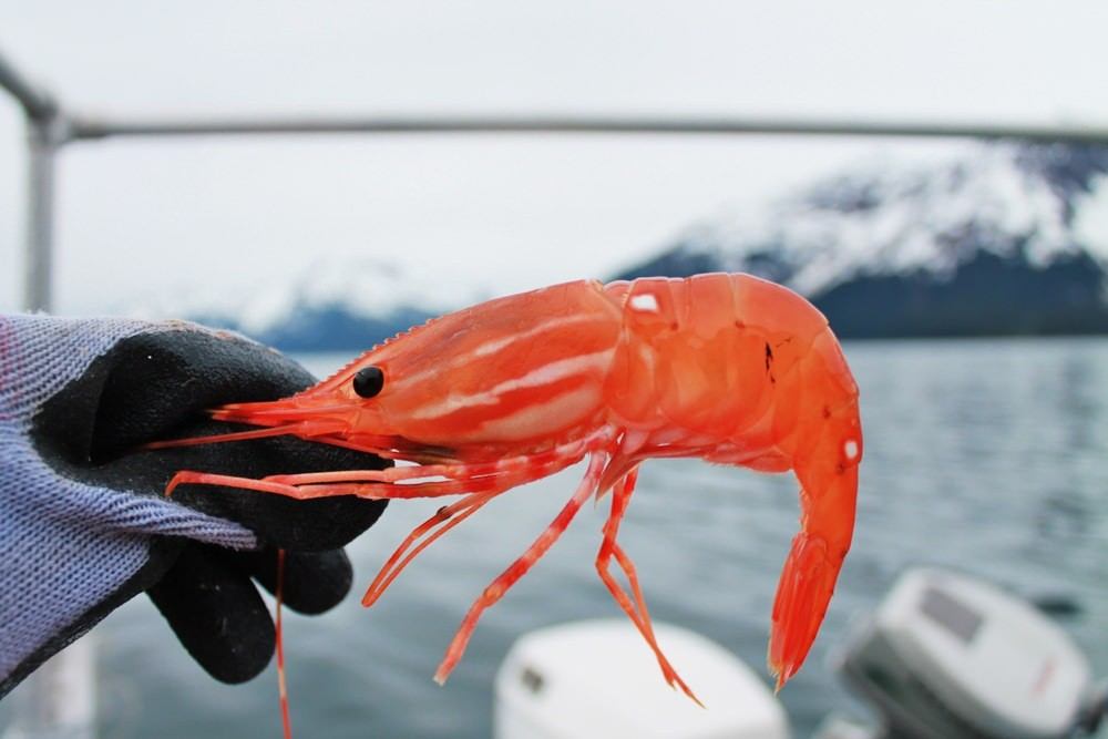 Don't skimp on Alaska's shrimp!