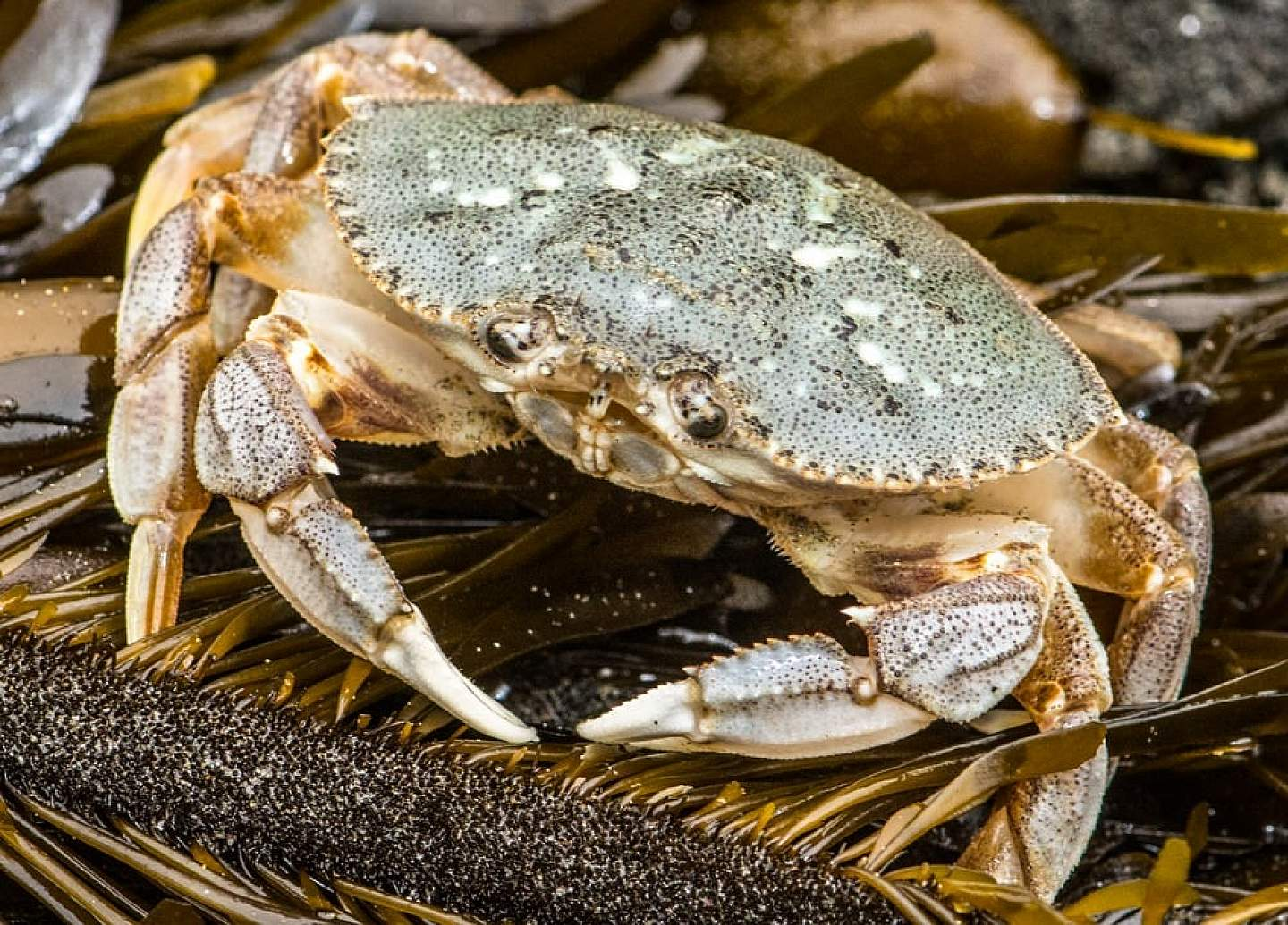 Dungeness crab is delectable.