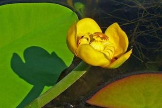 Nuphar polysepalum Lichens yellow pond lily wikimedia commons
