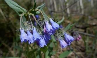 Bluebells of Scotland Campanula rotundifolia Fb35 RY Ew