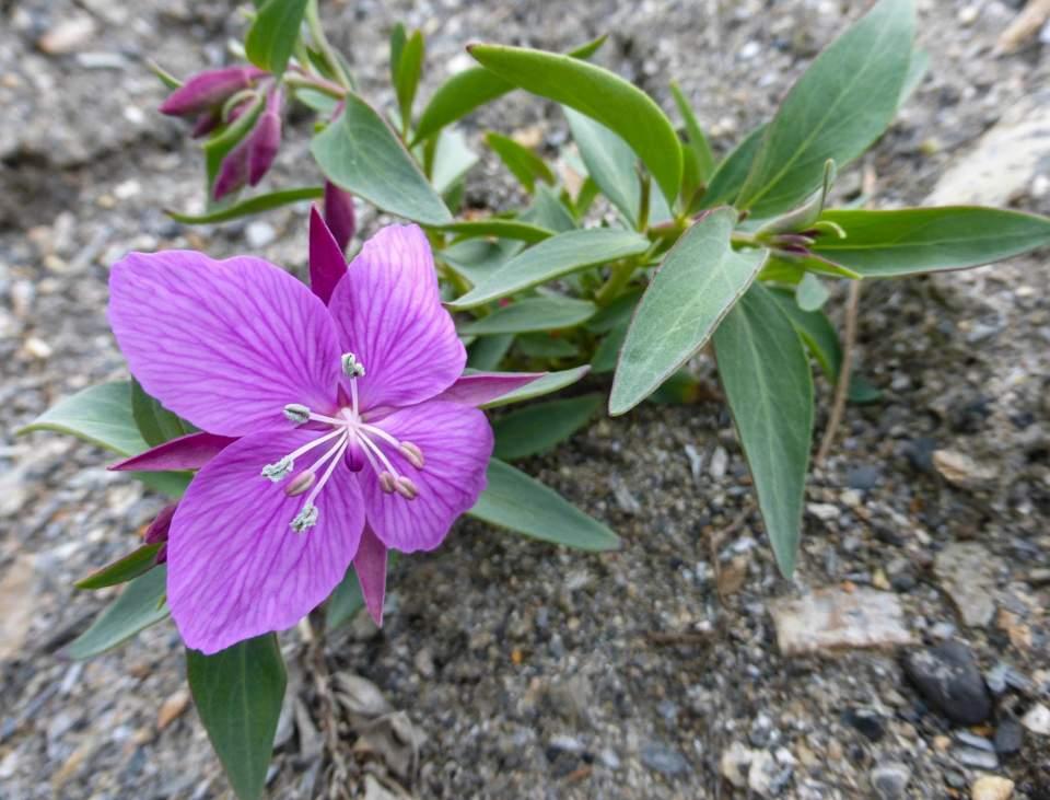 Dwarf Fireweed Epilobium latifolium