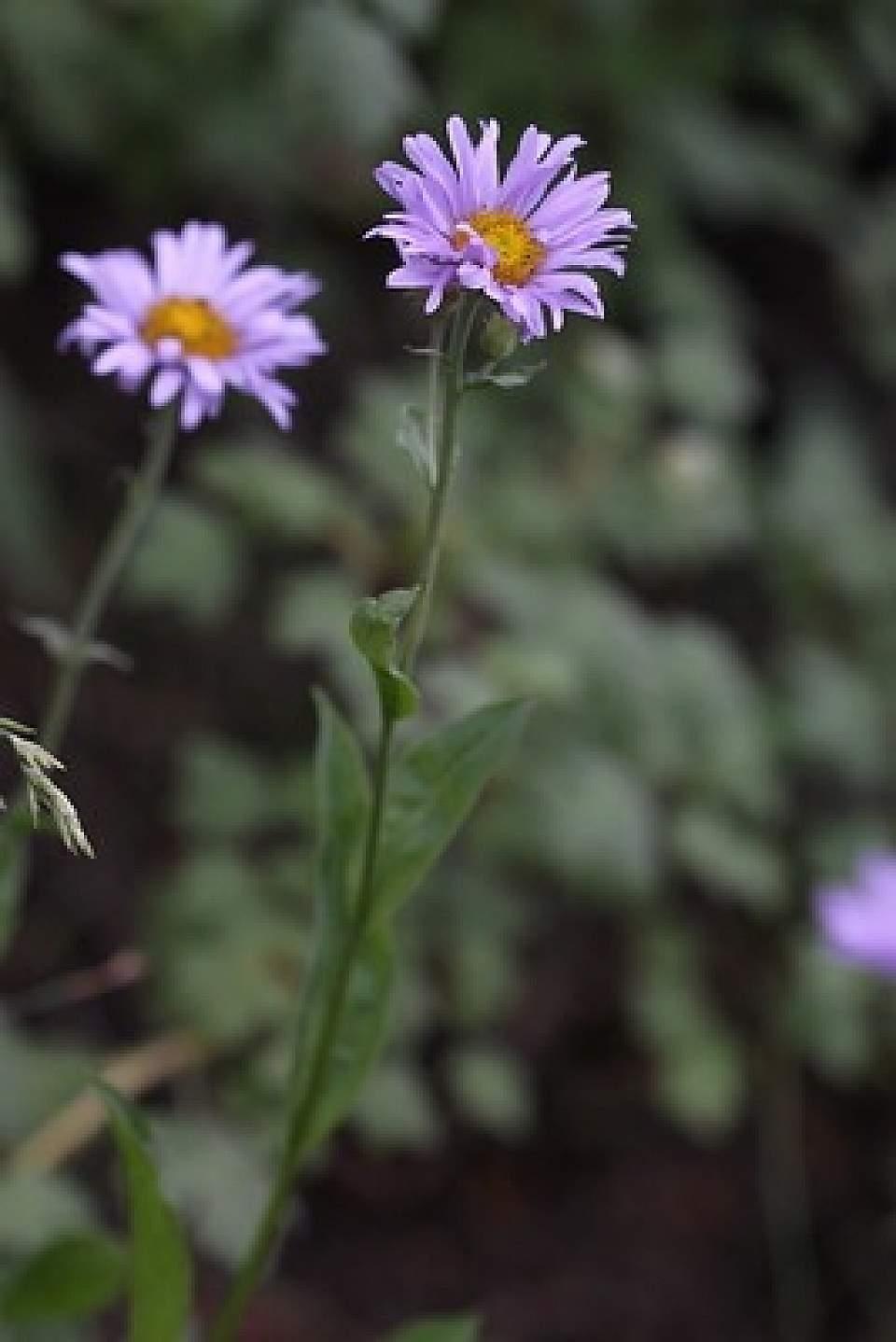 Subalpine daisy coastal fleabane Erigeron peregrinus Andrey Zharkikh Flickr 6338715470 5c589d3d8e w