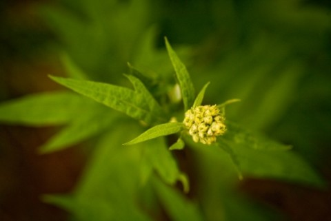 Artemisia Tilesii Common Wormwood Botanical Gardens 0079