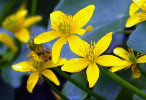 Caltha palustris Plants and Flowersmarsh marigold