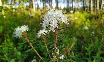 Labrador Tea Rhododendron tomentosum pikkuanna Flickr 50020406892 184859ecb5 w
