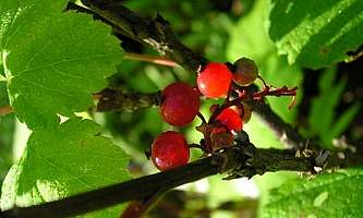 Red Currant Ribes triste Superior National Forest Flickr 5098098380 77897d603a w