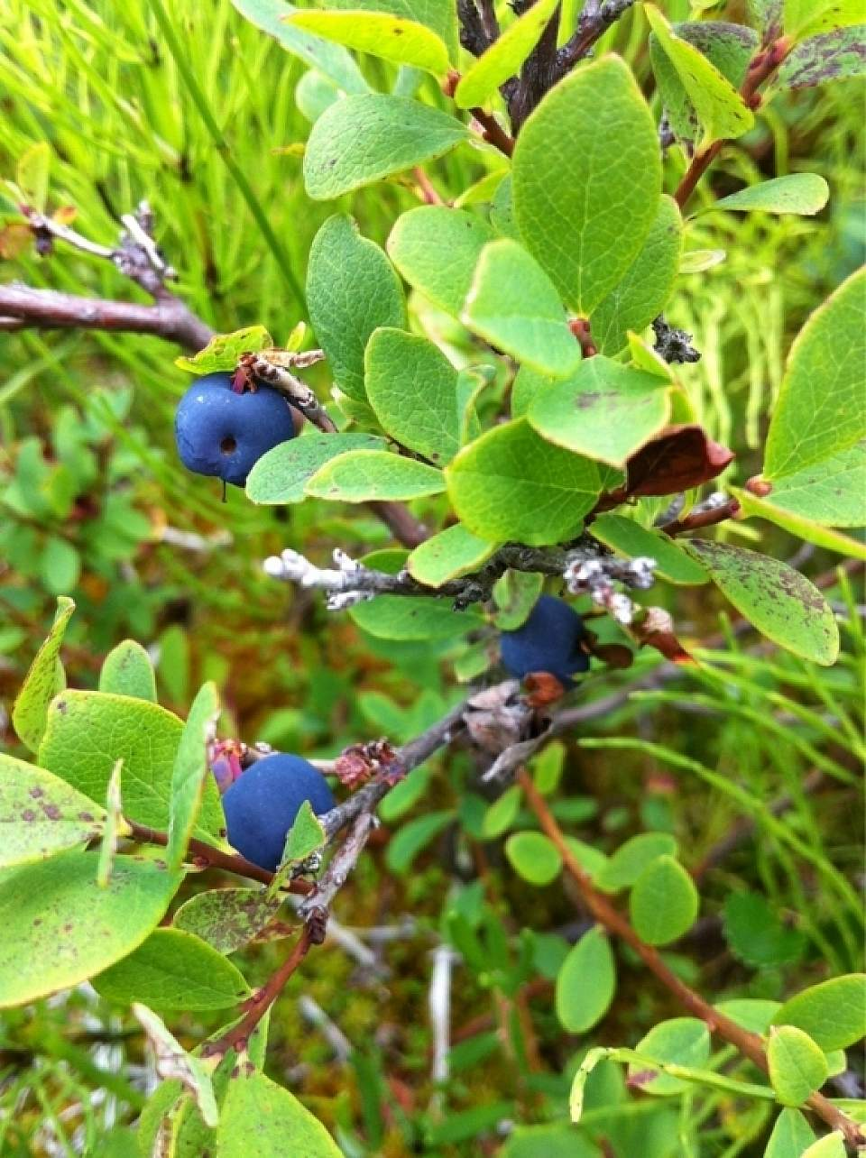 Alaska Blueberry15490ca7 71a4 45a4 9e9c 7a0d971308b0