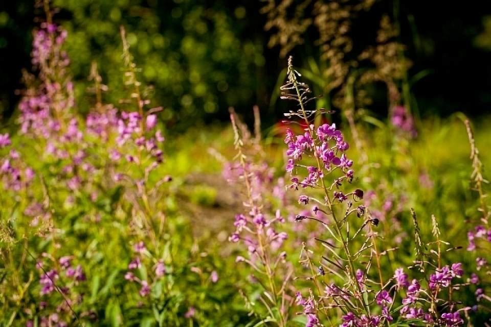 Epilobium angustifolium Fireweed Botanical Gardens 0184 2