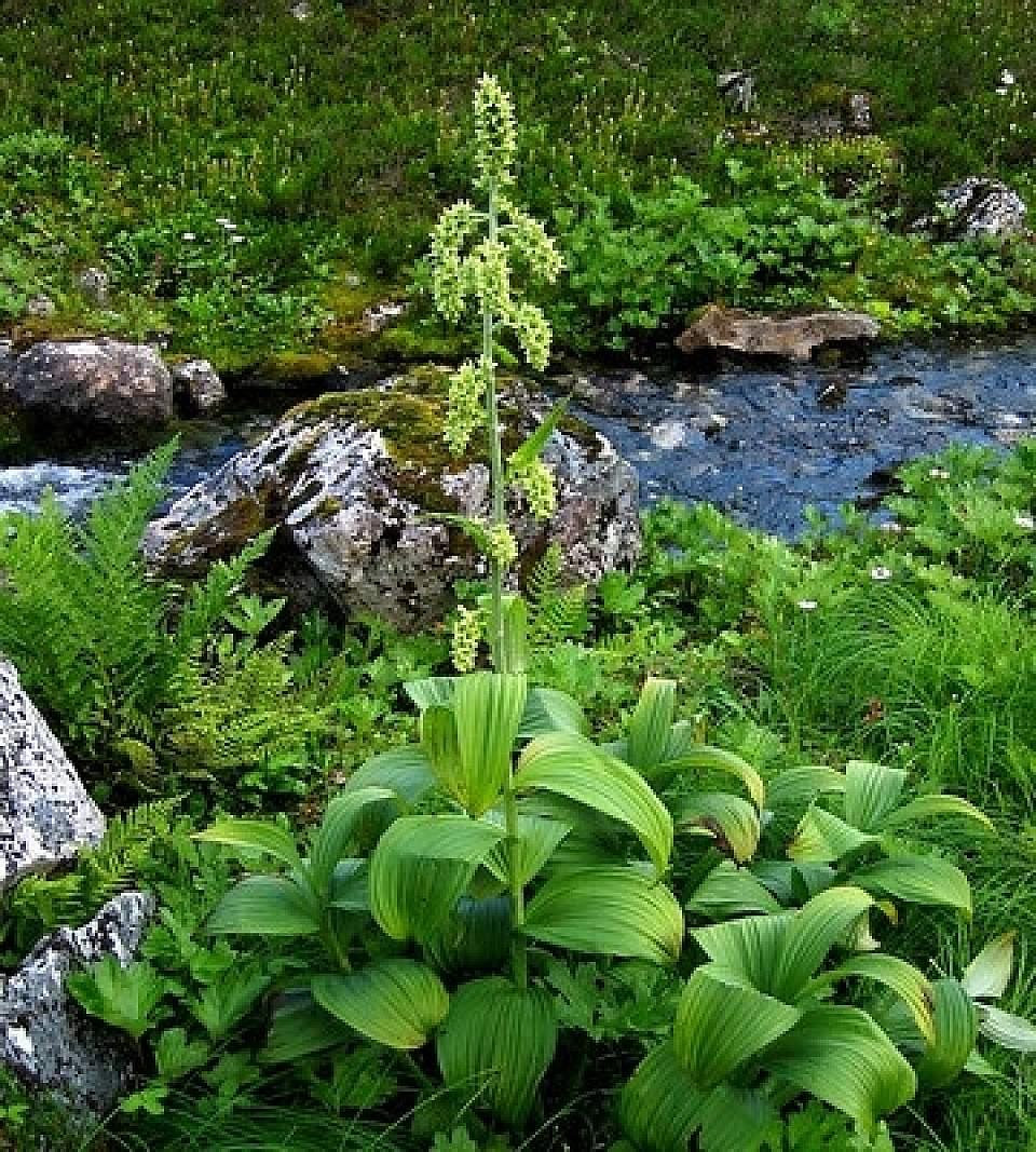 False Hellebore Veratrum viride Forest Service Alaska Region USDA Flickr 17165004737 db1151534c w