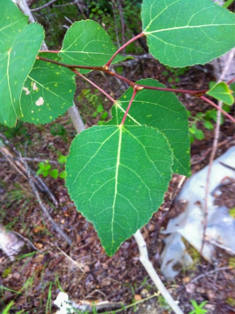 Aspen Tree Species d1582c9d f1af 4e6c b7cc 5819ae70a6be Boreal Forest