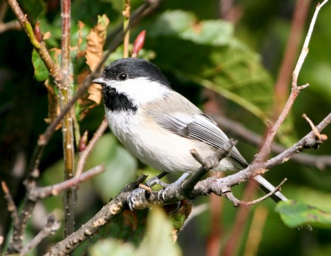 Black capped chickadee Bird Species FWS Donna Dewhurst blackcappedchickadee Boreal Forest