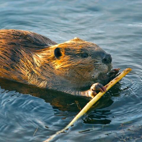 Beaver Land Mammals Wedgewood Wildlife Sanctuary beaver Boreal Forest