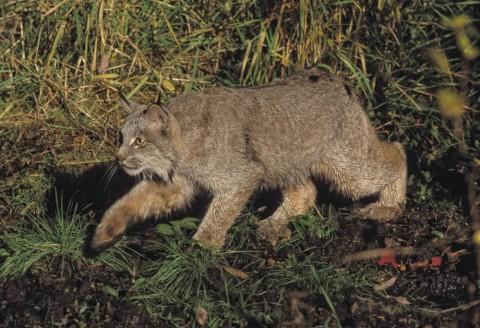 Lynx Land Mammals FWS Erwin Peggy Bauer lynx Boreal Forest