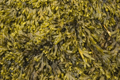 Rockweed life in the intertidal Alan Flickr 1375402118 2719e0ffa0 c