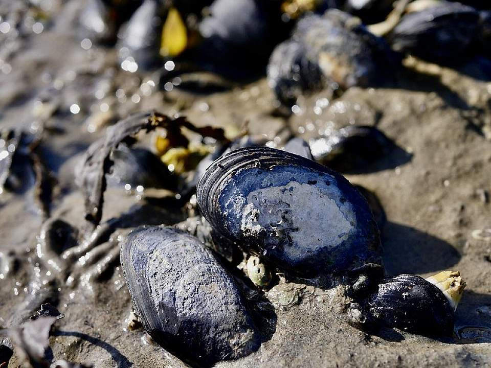 Life in the intertidal blue mussels Brandan Norman Flickr 49194203852 52a0d75701 c