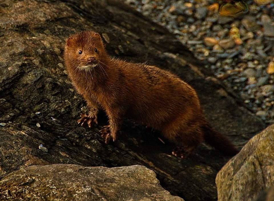 Mink life in the intertidal Dave Bezaire Flickr 8753603505 6c990de0c2 c