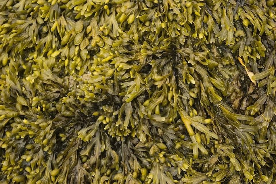 Rockweed life in the intertidal Alan Flickr 1375402118 2719e0ffa0 c