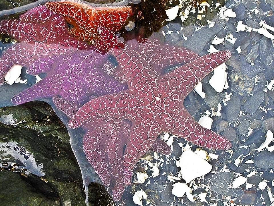 Sea stars Sitka Sound Ocean Adv sea stars in a tidepool HIRES