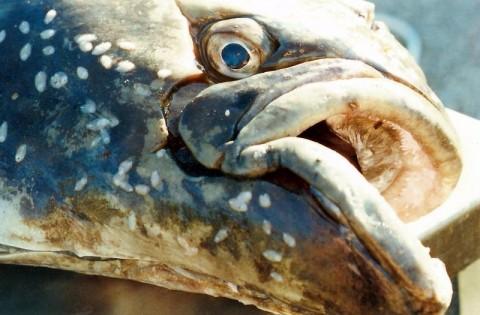Halibut marine ecosystem Isaac Wedin Flickr 220648048 7655bcb4d5 c