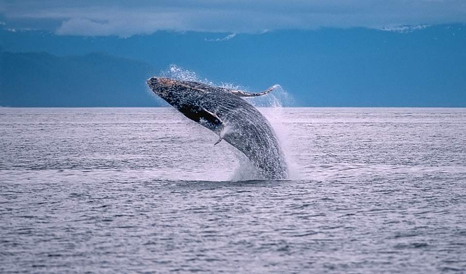 Humpback whale 2018 KFT 4