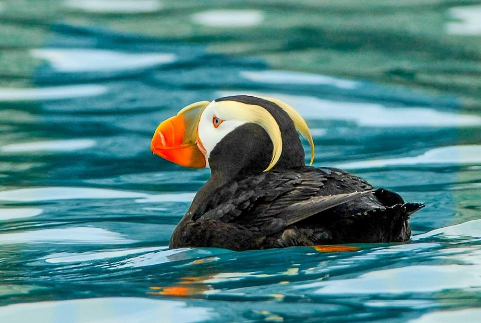 Jim Williams tufted puffin 4 2346