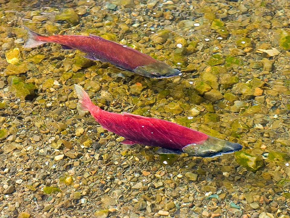 Salmon Red salmon redd