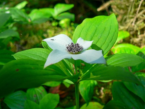 Plants and Flowers Drawf Dogwood Bunchberry Carpets