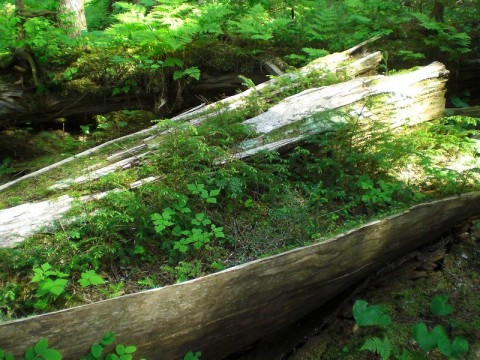 Nurse log temperate rainforest leonlngul 5818114019 e9bce8e688 c